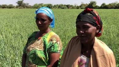 Photo of TAAT opens a new frontier for Wheat in Ethiopia