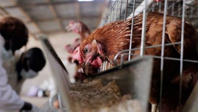 Photo of The local poultry sector could generate 150,000 jobs by 2025