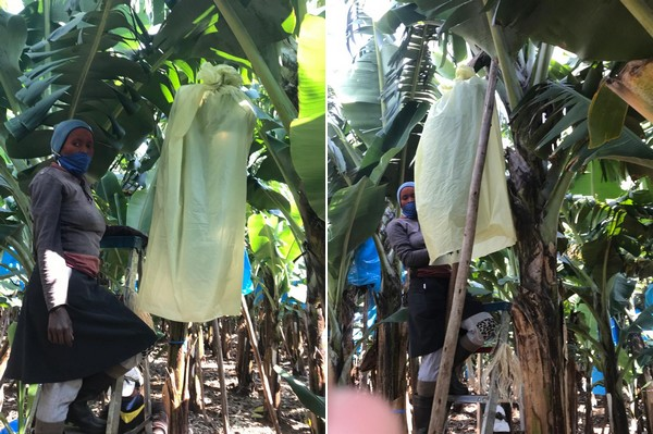 Photo of Biodegradable PATI bags to protect bunches of bananas on trial in South Africa