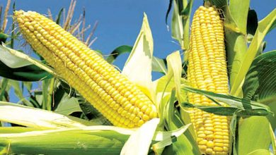 Photo of Lagos supports 650 farmers with hybrid maize seedlings
