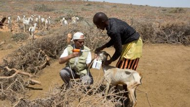 Photo of Protecting livestock and pastoral livelihoods in Somalia during COVID-19 amid floods and insecurity