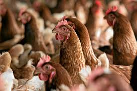 Photo of SA planning to raise tariffs on poultry imports from US, Brazil
