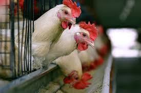 Photo of Govt master plan to protect poultry industry
