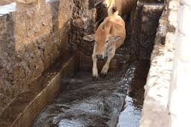 Photo of Lack of dipping facilities affects cattle population