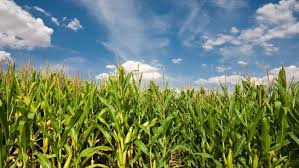 Photo of Zambia's maize havest increases by 69 percent