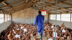 Photo of ADB to support poultry farmers with GHS500m to reduce chicken import