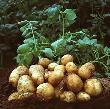 Photo of Kenyan government launchers potato seed multiplication program to address shortages