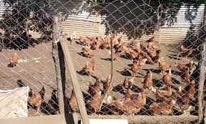 Photo of Tax-free Uganda Chicken Killing Local Farmers