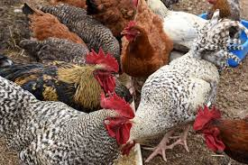 Photo of Common mistakes to avoid in poultry farming