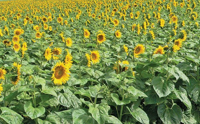 Photo of How to improve the oil yield of a sunflower crop