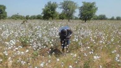 Photo of Why Busoga stopped growing cotton