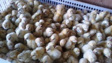 Photo of Kenya: Poultry Farmers Get Free Chicks As COVID-19 Bites