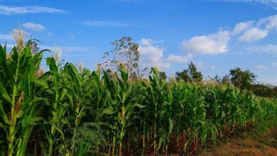 Photo of SA leads Africa's maize trade during Covid-19