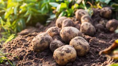 Photo of Island of Malta-grown potatoes headed for Namibia