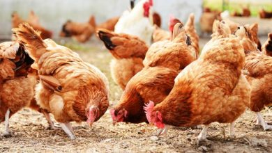 Photo of Manufacturing Own Feeds Keep Poultry Farmers In Business