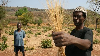 Photo of Profit-making idea: Producing the supergrain fonio in Mali