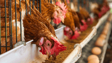Photo of Poultry farmers lament maize scarcity, rising cost