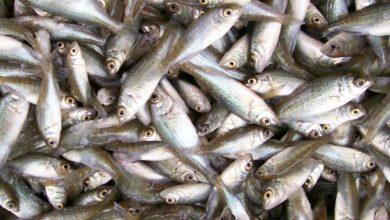 Photo of NAMIBIA SET TO AUCTION SHARE IN FISHING QUOTA