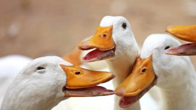 Photo of Optimising fattening in ducks: Anta®Ox FlavoSyn