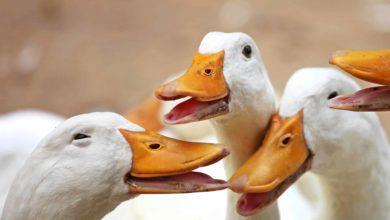Photo of Optimising fattening in ducks: Anta®Ox FlavoSyn