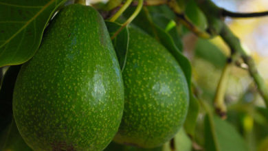 Photo of Avocado – the rising start of Tanzanian horticulture