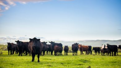 Photo of Plant extracts to promote growth and feed efficiency in beef cattle