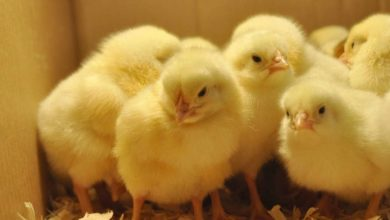 Photo of Lagos PAN mulls establishing hatchery for day-old chicks