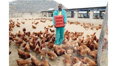 Photo of Chickens lay US$ for Moyo brothers