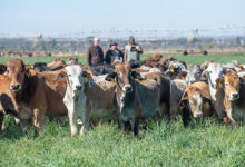 Photo of How Beefmaster Group helps cattle farmers