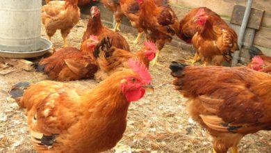 Photo of Rwanda Invests Rwf15 Billion in Pig, Poultry Farming