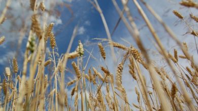 Photo of Tanzania: Wheat Production Receives Massive State Boost
