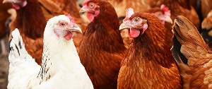 Photo of Poultry farmers blame hikes in prices of chicken on high cost of feed
