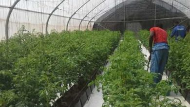 Photo of Public Urged To Patronise Greenhouse Technology Vegetables