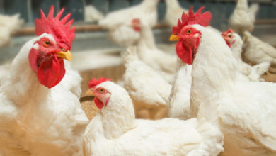 Photo of Expertise in New Cobb Broiler Breeder Management Guide Helps Customers Optimize Flock Performance