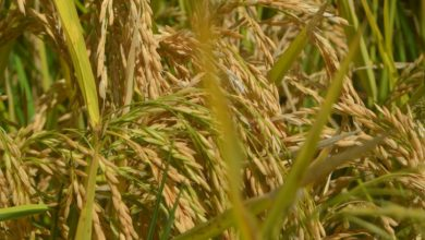 Photo of Mwea Farmers Embrace High Yielding Hybrid Rice