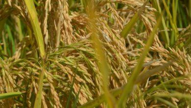 Photo of Mwea Farmers Embrace High Yielding Hybrid Rice