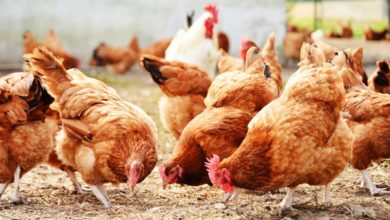 Photo of Tanzania: New Tech to Determine Chicken Weight to Benefit Farmers