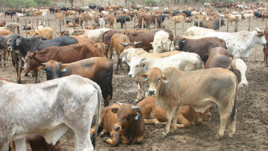 Photo of Do cattle outnumber people in Botswana?