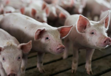 Photo of South Africa: Agriculture On African Swine Fever Outbreak in Western Cape