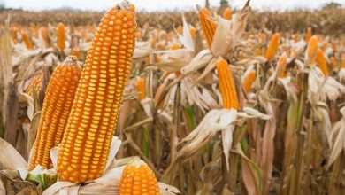 Photo of Zimbabwe: Record Harvest Expected in 2020/21 Season