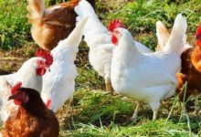 Photo of Let's support local poultry production!