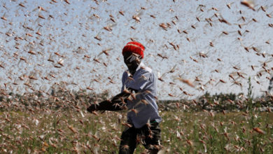 Photo of Farmers fight back: Making animal feed from a locust plague