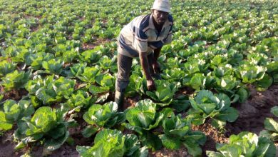 Photo of Ghana government enhances farmers' access made strides in agriculture initiatives