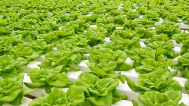 Photo of South African local farm plans on hydroponic tunnel farm