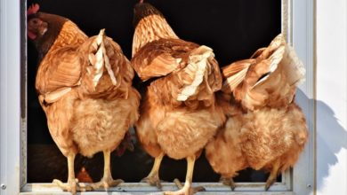 Photo of Lesotho: Poultry Import Ban Continues
