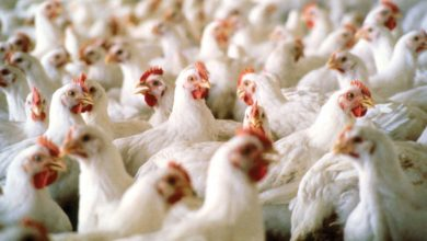 Photo of Association blames middlemen for hike in Poultry Produce