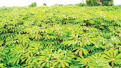 Photo of Despite 20% global cassava share, low yield denies farmers bumper harvest