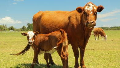 Photo of Beef cattle basics: Choose the right breed for your farm