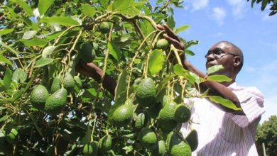 Photo of Uganda's agriculture ministry intensifies research on Hass avocado