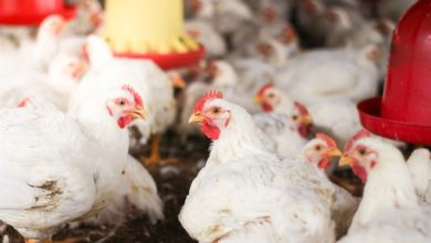 Photo of Namibia now has a total ban on SA poultry – and a million hens have already been culled